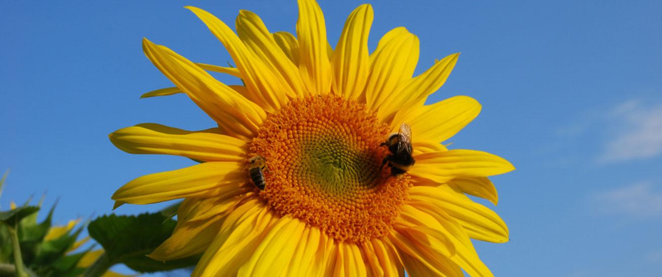 Fastenhotel Fastenkuren Sonnenblume